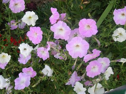A clump of Petunia flowers in summer, Nishat Gardens, Kashmir, India,